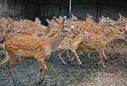 闲鱼拍卖300多头鹿172万成交,还有人买飞机火箭